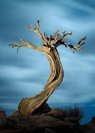 Ideas Pine Tree Photography Woods Nature For 2019 Bonsai Artificial, Sequoia, Weird Trees, Bristlecone Pine, Lone Tree, Old Trees, Unique Trees, Tree Photography, Colour Photography