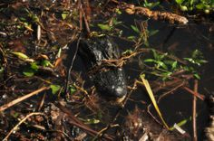 Who's that lurking just below the surface...it's a momma gator.  Watch out!