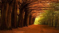 The amazing trees in Coole Park in Ireland.
