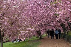 Cherry blossoms trees in Central Park, New York - Arvind Garg/Getty Images