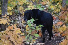 Exploring Fall With Brandy - So I Was Thinking Autumn Morning, New Growth, Early Fall, Fall Season, Exploring, Labrador Retriever, Wildlife, Hiking, Creatures