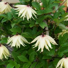 Buy RHS Chelsea Flower Show Plant of the Year 2016 - clematis (group Clematis koreana 'Amber (PBR)' - RHS Chelsea Flower Show Plant of the Year Delivery by Crocus Amber, Chelsea Flower Show, Year 2016, Creepers, Trellis, Rose, Shrubs, Vines, Climbers