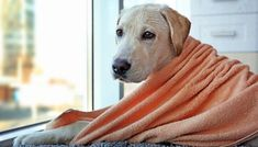 Bathing your dog at home will save you a lot of money on professional grooming expenses, but without the best dog towel it will also lead to a mess in your home. Even the thickest bath towels can't absorb all the water in your dog's coat without getting too soaked and dripping. #best #dog #towels #review #list #grooming #dogs #supplies #bath #wash #bathing #top #drying #pets #doggroomingdiy