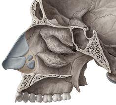 Lateral wall of Nasal Cavity - Bones and Cartilages