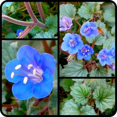The Blazing Beguile Of A Bluebell Knoll - Phacelia campanularia