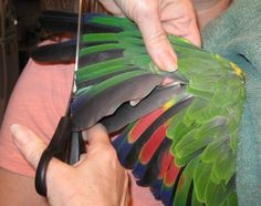 Bird owners have mixed feelings about wing clipping. Is it mean to clip your bird's wings? After all, they are born to fly. Let's take a closer look at how to clip wings and the reasons it is recommended.