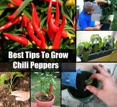 Best tips to grow chili peppers - NaturalGardenIdeas.com