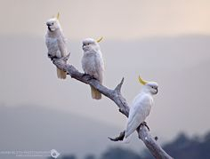 Sulphur-crested Cockatoos by Adam Blyth, via Flickr and you can see more of his wonderful work here https://www.facebook.com/AdamBlythPhotography