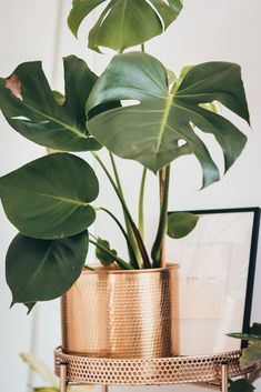 5 Stunning and easy to care for houseplants and where to get them. South Mexico, Swiss Cheese Plant, How To Look Better, How To Get, You Monster, House Plant Care, Monstera Deliciosa, Houseplants, Indoor Plants