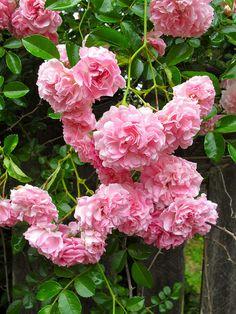 'Dorothy Perkins' rose | by Susan R~