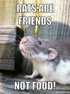 Rats are friends. Funny Rats, Cute Rats, Cute Images, Cute Pictures, Rodents, Hamsters, Miniature Dogs, Animal 2, Squirrel