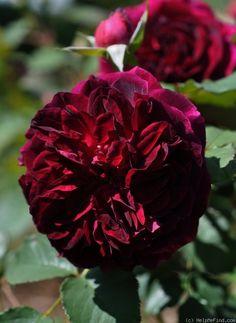 Rose: Munstead Wood.