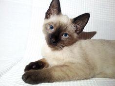 Bruno Siamese Cat