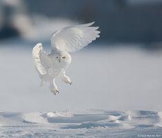 .  Snowy Owl