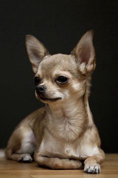 Chihuahuas do well with other breeds of dogs in their home.