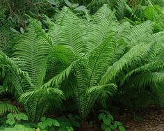 Matteuccia struthiopteris (Ostrich fern) - Fern - Zones 3-8, Height 3-4 ft. Large, lustrous, dark green fronds arch gracefully and give the tropical feel of a palm. Happiest in a cool moist site, it will tolerate more sun at the side of a stream or pond. Emerging fiddleheads are delectable sautéed in a bit of oil.