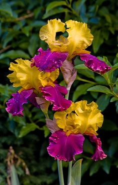 Pretty Pink & Yellow Iris Flowers