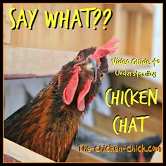 Chickens have a language all their own and while we may not understand it at first, by paying attention and tuning into our chickens we can learn to comprehend some of what they're trying to say.