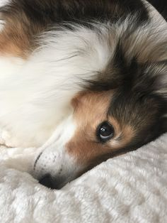 Sweet #sheltie face