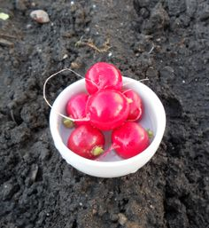 Grow radishes to repel cucumber beetles..didn't know this...good thing I bought a package of radish seeds last week!