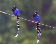 Taiwan Blue Magpie | 台灣藍鵲(Taiwan Blue Magpie/Formosan Blue Magpie) | Flickr - Photo ...