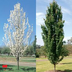 We carry a wide variety of ornamental pear trees, perfect for use as street trees, screens, shade and more. Columnar Trees, Deciduous Trees, Trees And Shrubs, Trees To Plant, Ornamental Pear Tree, Flowering Pear Tree, Pear Trees, Garden Trees, Garden Plants