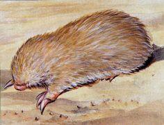 De Winton's golden mole | de winton s golden mole cryptochloris wintoni south africa little ...