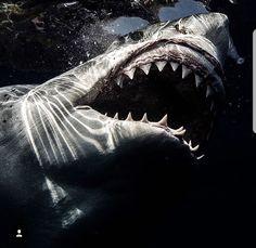 Jaws……… Source by Shark Pictures, Shark Photos, Underwater Creatures, Ocean Creatures, Orcas, Hai Tattoos, Shark Bait, Great White Shark, Shark Week