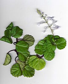Plectranthus verticillatus or swedish ivy