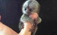 The most wealthy people in China have started an interesting new trend.owning adorable tiny monkeys! It's now the year of the monkey, and these pygmy marmosets are the smallest monkeys in the wor. Tiny Monkey, Cute Baby Monkey, Pet Monkey, Baby Animals Super Cute, Cute Little Animals, Cute Funny Animals, Cute Animal Photos, Animal Pictures, Miniature Monkey