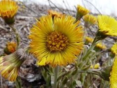 Coltsfoot: Pictures, Flowers, Leaves and Identification | Tussilago farfara