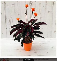 * Eternal Flame (Dario's fave!). £14.99. Pot size: 14cm. Current H: 40cm. Max H: 50cm. The leaves of this showy plant are a deep purple-flushed green on the top with a maroon reverse. This gives them a really nice bi-coloured effect, so even when not in flower, the plant will hold its own in the room. Having said that though, it is the flowers that are the real stars. They top long stems and are a bright orange colour that really glows - and each one can last up to 3 months.