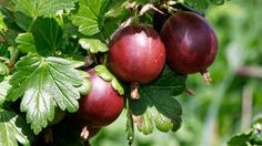 Žiadne lístky! Vyčistite podpníky Plum, Fruit, Seasonal Flowers, Composters, Planting, Harvest, Plants, The Fruit