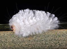 poodle caterpillar