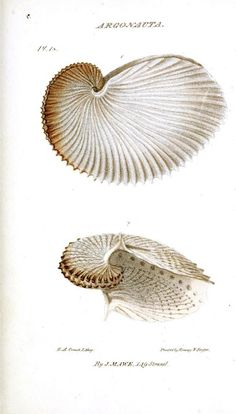 Argonaut shell.  From vintageprintable.com/wordpress/