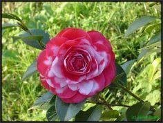 Camellia coquette   Foro de InfoJardín - Camelia, la flor más bella