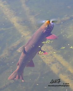 rising trout - Google Search