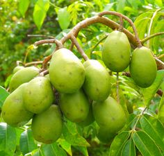 Thai dwarf ambarella fruit
