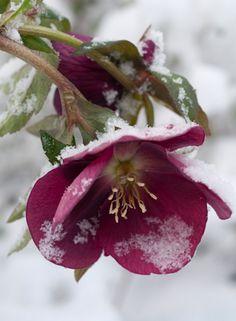 Early spring Hellebore or Lenten Rose