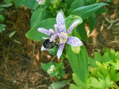 Sproutsandstuff: Tricyrtis Hirta-A Fall Blooming Shade Plant