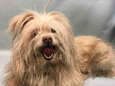 SAFE❤️❤️ 12/24/16 BY POSH PETS RESCUE❤️ THANK YOU❤️❤️ FLUFFY - A1100181 - - Manhattan Please Share:TO BE DESTROYED 12/23/16 **NEEDS A NEW HOPE RESCUE TO PULL** - Click for info & Current Status: http://nycdogs.urgentpodr.org/fluffy-a1100181/