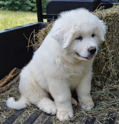 Great Pyrenees puppy. Sweetest dogs ever