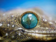 Insane detail in the gecko eye.