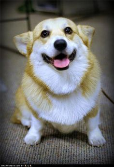Photos like this are a biiiiig part of why I want a corgi so so so bad. LOOK AT THAT FACE OMG