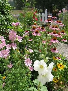yes I am definitely urging consideration of hollyhocks . . here are the white versions, planted with black eyed susans and echinacea (the bright pink daisy looking flowers) and pink Mallow. It has such a pretty cottage feel and these are all perennials.