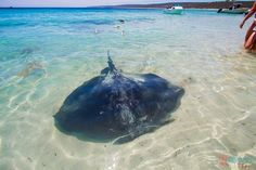 Get up close with wild stingrays at Hamelin Bay in Western Australia