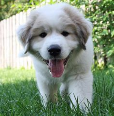 Great Pyr Puppy..looks just like Hurley Hoo but without the badger markings!