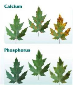 Big Picture Agriculture: Plant Nutrient Deficiency Leaf Illustrations and Charts Reference Guide