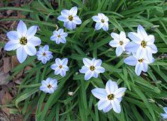 Spring Star Flower | Lynn's Garden Journal