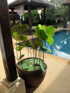 Bangtao beach villa rental - Lotus pot at the swimming pool Lotus Garden, Lotus Plant, Tropical Garden, Dream Garden, Container Pond, Container Water Gardens, Container Gardening, Plant Containers, Patio Pond